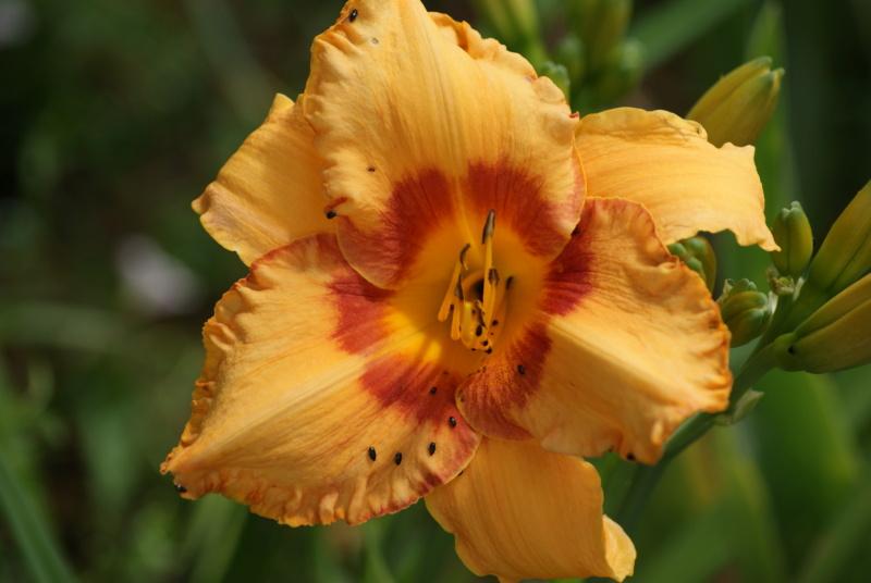 Hemerocallis - des variétés - Page 10 Dsc04118