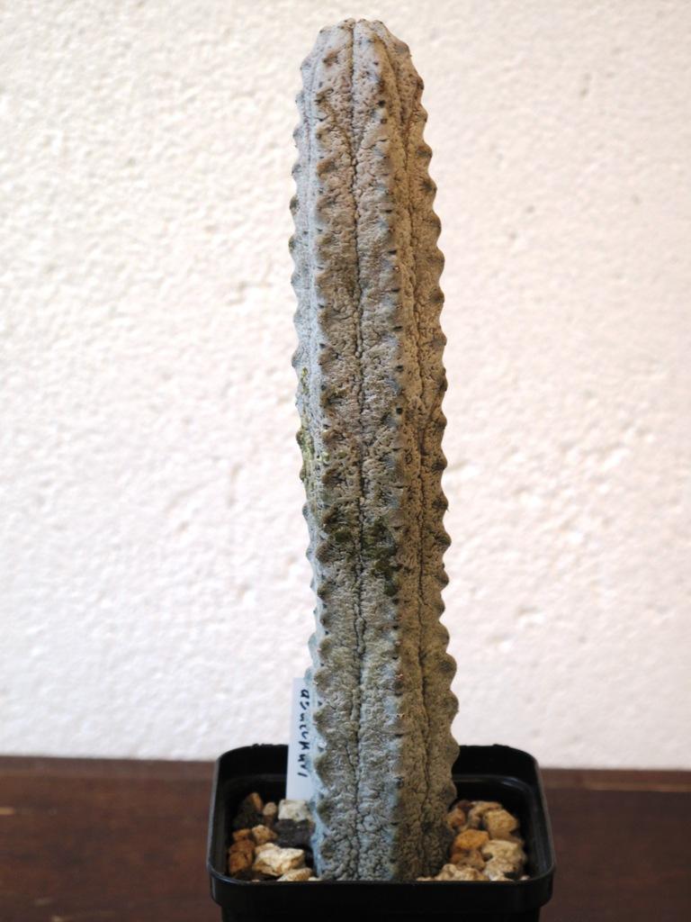Euphorbia abdelkuri Euphor10