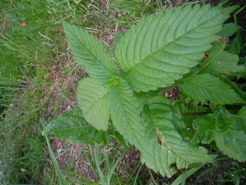 Mélitte à feuilles de mélisse / Melittis melissophyllum Dscn3310