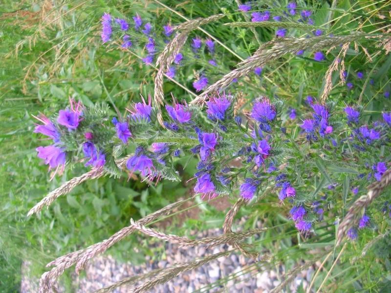 Vipérine commune / Echium vulgare Dscn3328