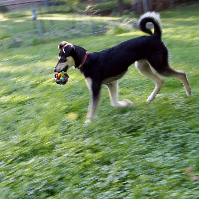 Adequate yet safe exercise level for young Husky. Willow10
