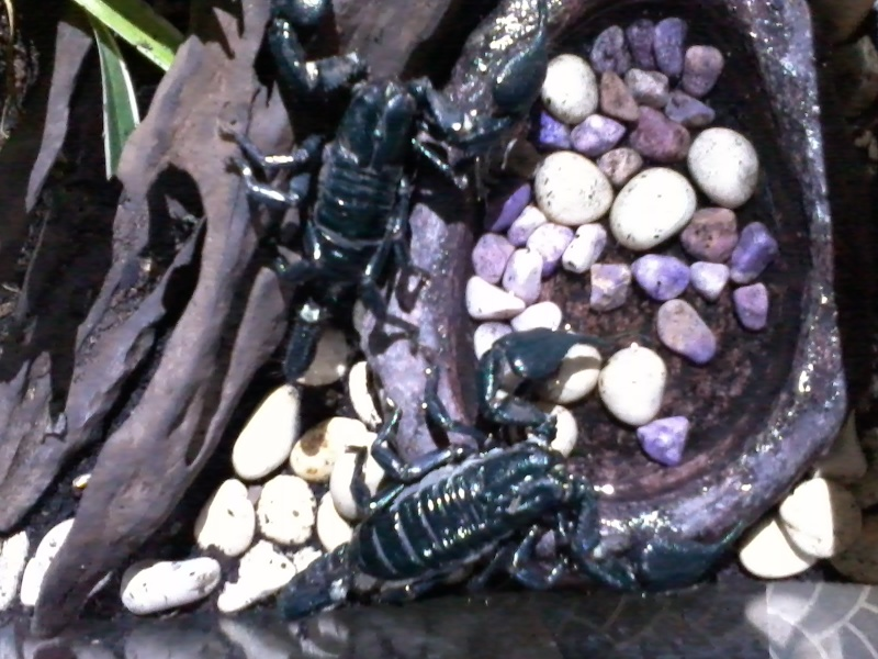 My heterometrus cyaneus from Indonesia 2014-014