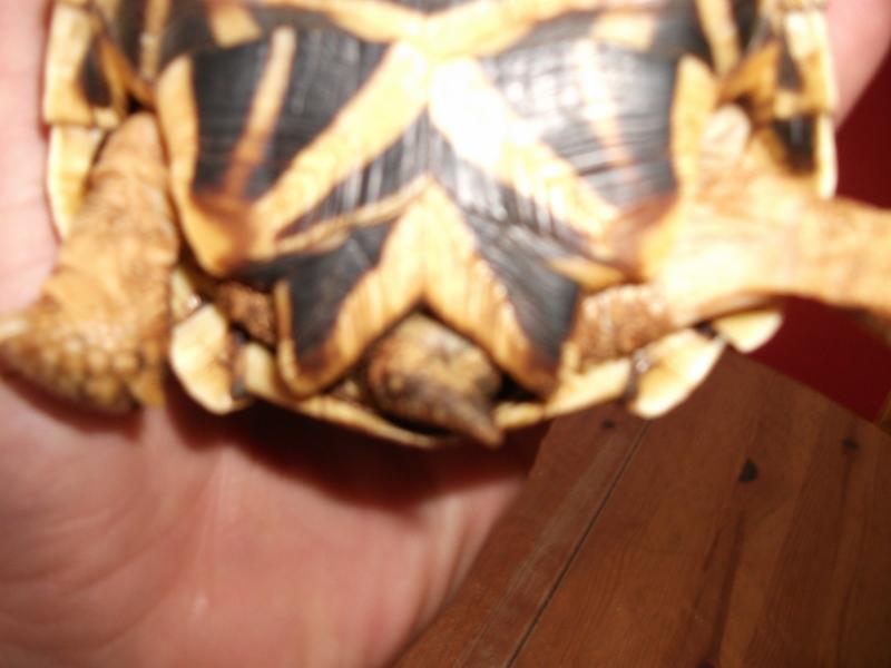 sexe de ma tortue elegans. Tortue14