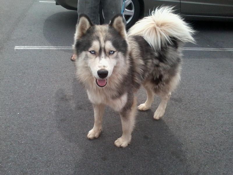 Help buying first Husky Img_2014