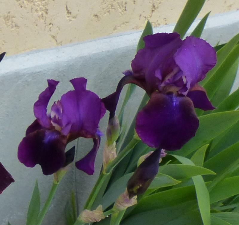 Un iris bleu dont je connais pas le nom Iris_i11