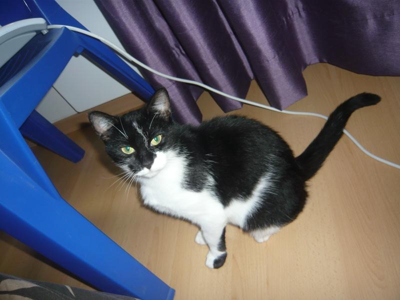 GENTILLE, chatte noire et blanche, née en 2011 P1020417