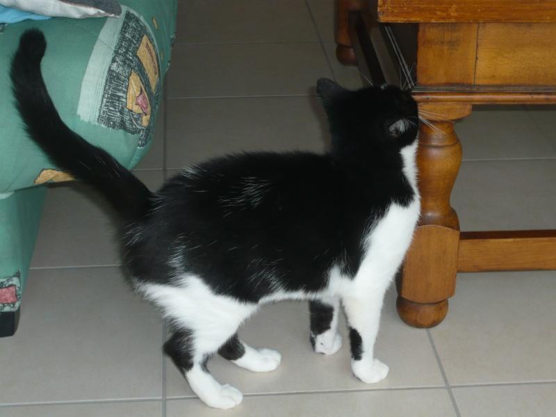 GENTILLE, chatte noire et blanche, née en 2011 P1020420