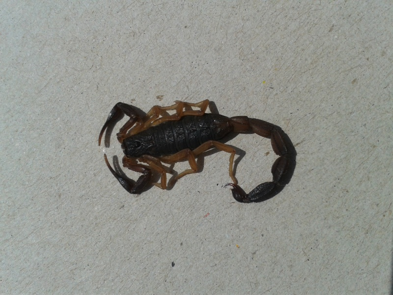 Help needed. Scorpion at home in Panama 20140611