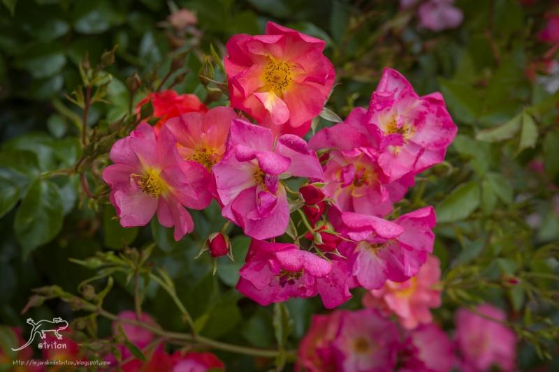 "Mela Rosa ""Plein feu sur les roses"" 14-15 juin 2014 Img_2410"