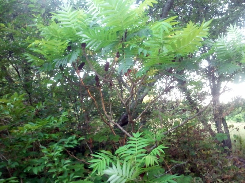 Petit arbre sans nom.........Rhus typhina 00711