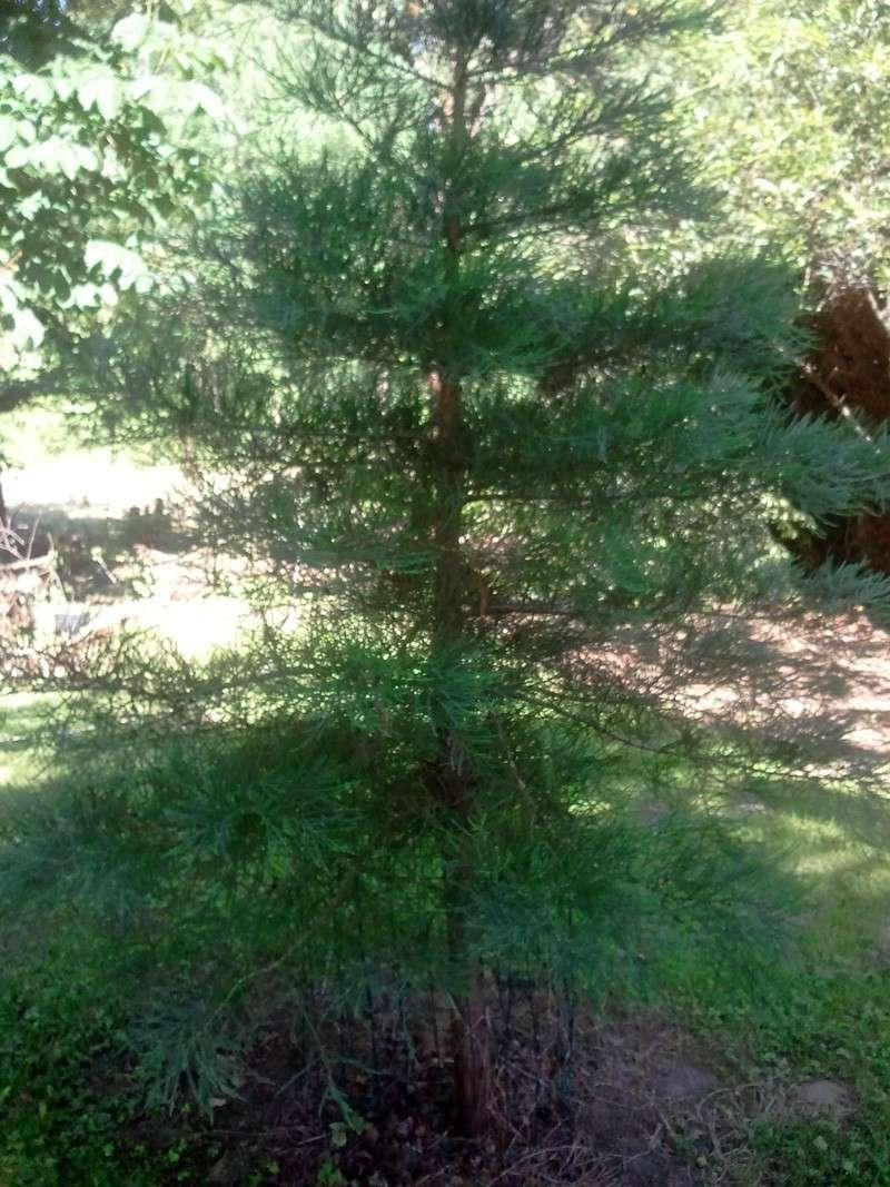 Jeune sequoia géant à donner 00712