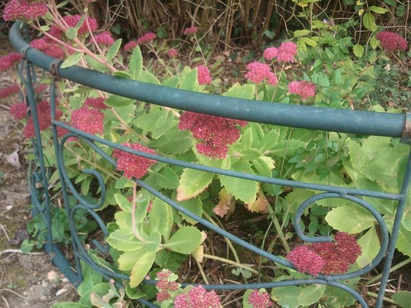 2 plantes à identifier/Aster et Sédum spectabile 03810