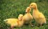 Вирощування молодняку гусей