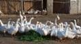 Умови утримання гусей
