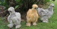 Породи курей, Chicken breeds