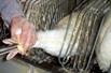 Проблеми і питання при утриманні гусей