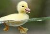 Розведення качок і вирощування молодняка