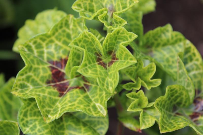 Pelargonium - Pelargonien - alle nichtsukkulenten Arten und Sorten - Aussaat - Stecklinge - Seite 11 01310