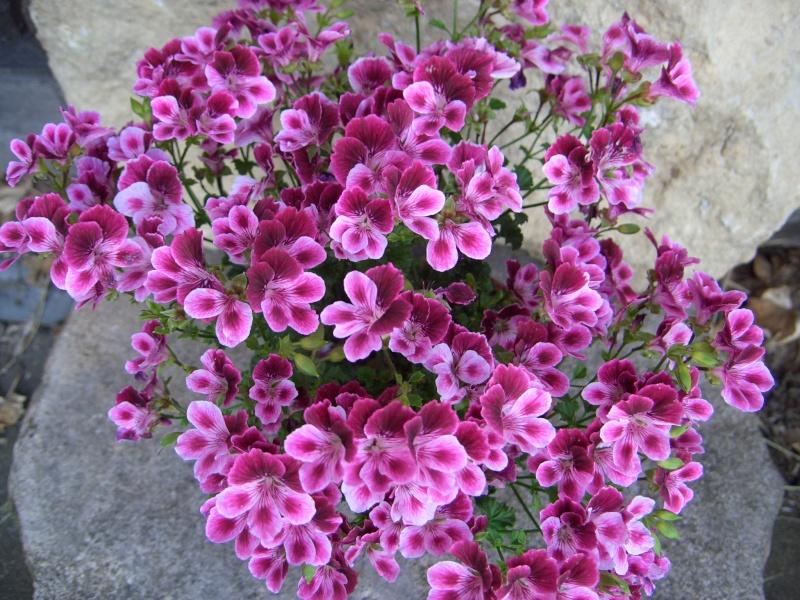 Pelargonium - Pelargonien - alle nichtsukkulenten Arten und Sorten - Aussaat - Stecklinge - Seite 11 Cimg2311