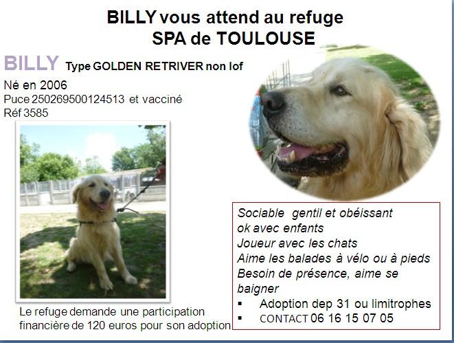 golden - Billy adorable Golden retriever Male de 8 Ans  Billy_10