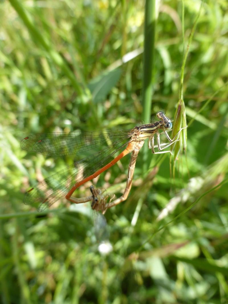 Recherche du nom de 2 libellules Agrion11