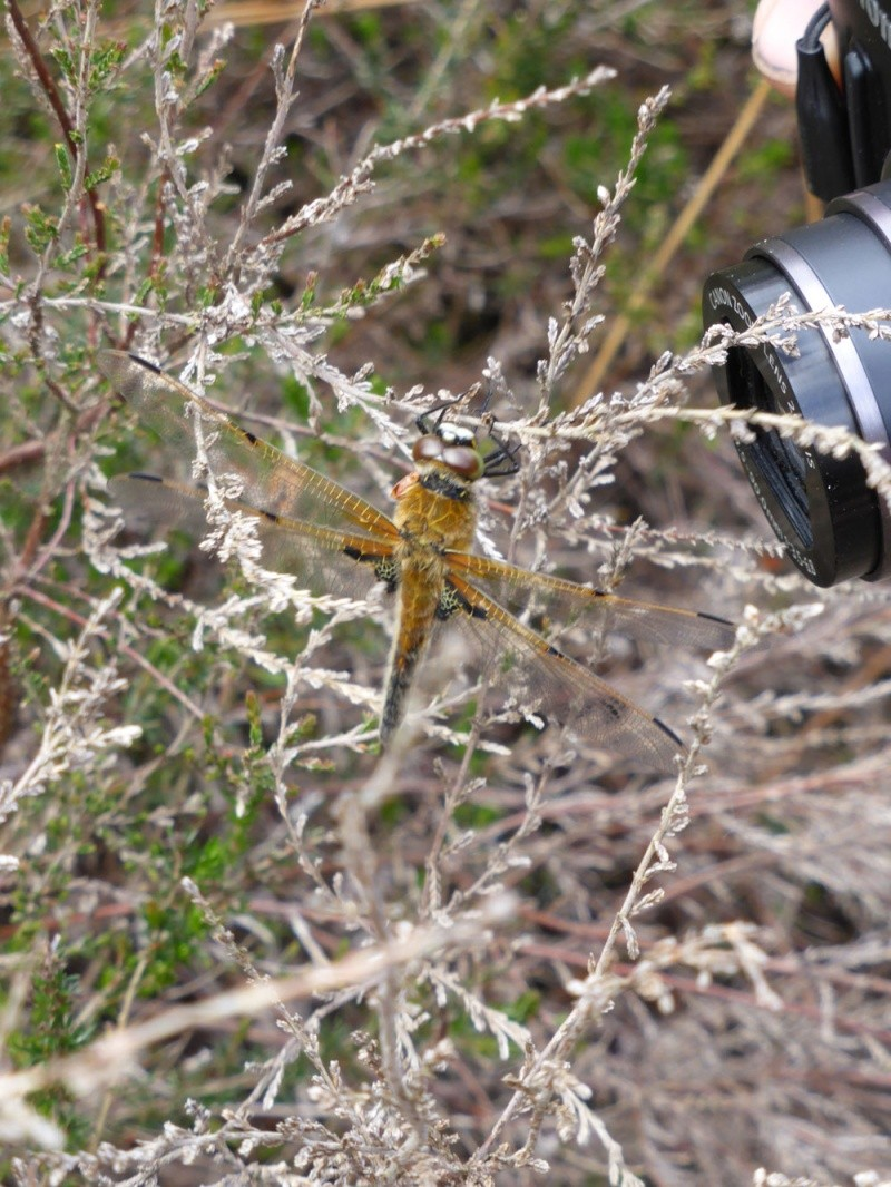 Recherche du nom de 2 libellules Libell10