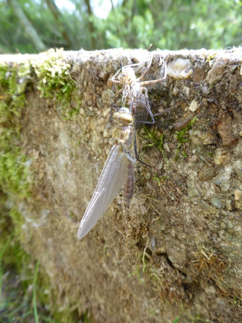 Recherche du nom de 2 libellules P1000210