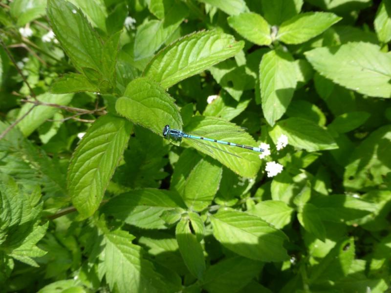 Recherche du nom de 2 libellules P1000512