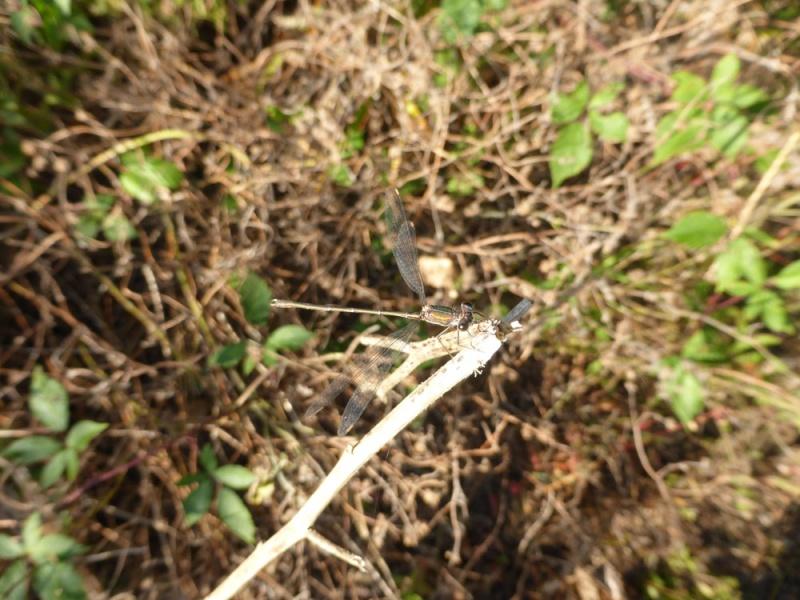 Recherche du nom de 2 libellules P1010010