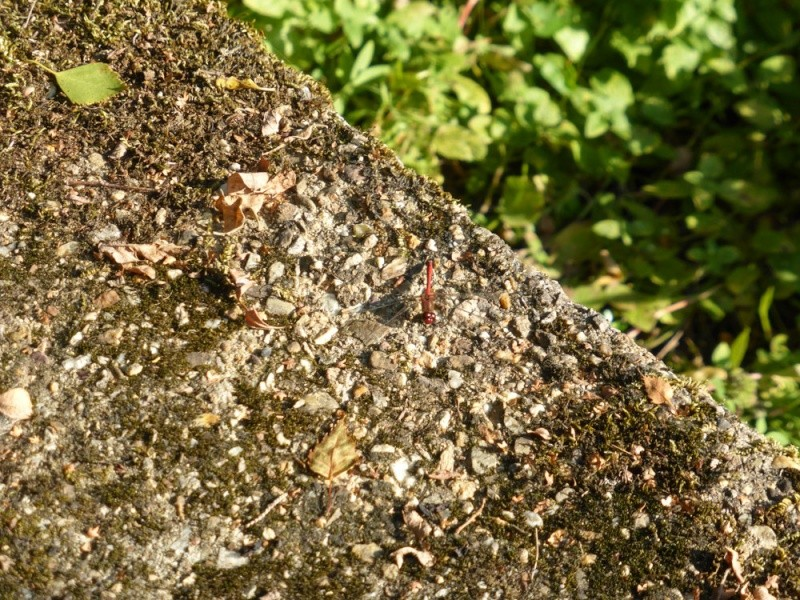 Recherche du nom de 2 libellules Sympet10
