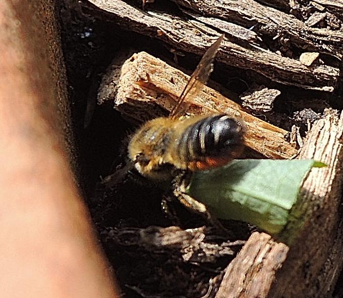 Abeille solitaire? Bee_110