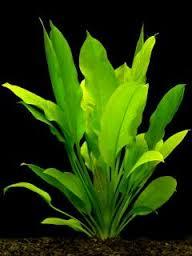 Amazonense (Echinodorus bleheri) Echino10