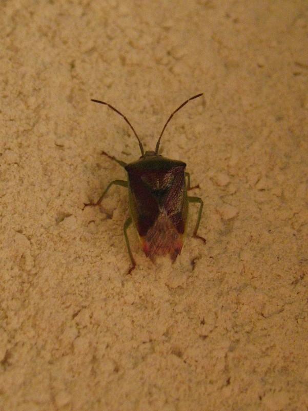 Elasmostethus interstinctus Img_0714