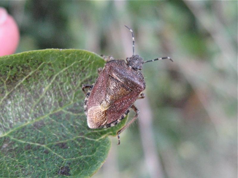 Dolycoris baccarum Img_1416
