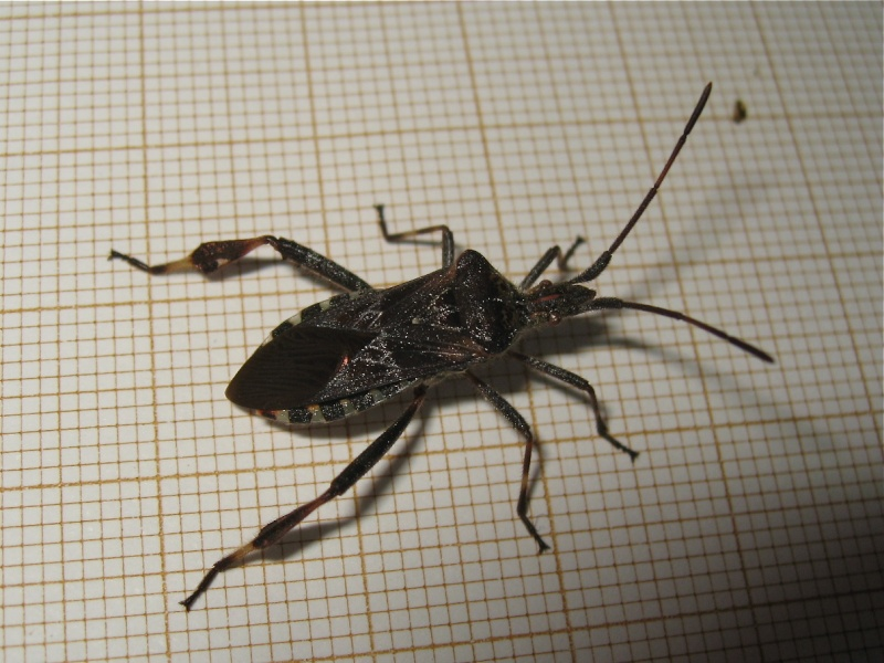 Belle américaine (Leptoglossus occidentalis) Img_1417