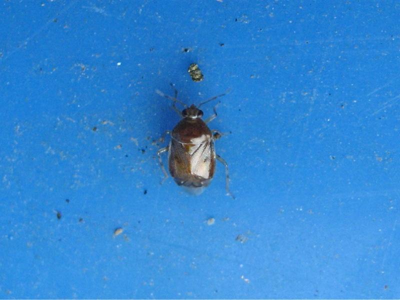 Deraeocoris lutescens Img_1614