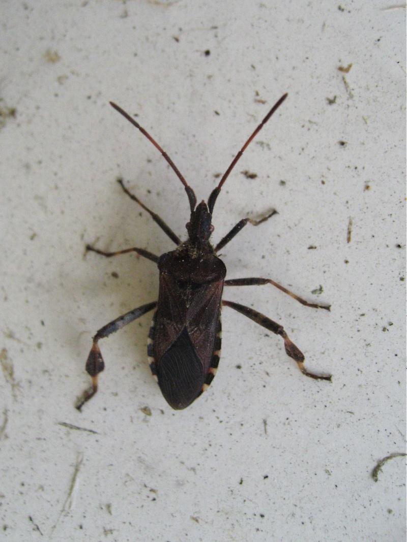Belle américaine (Leptoglossus occidentalis) Img_2215