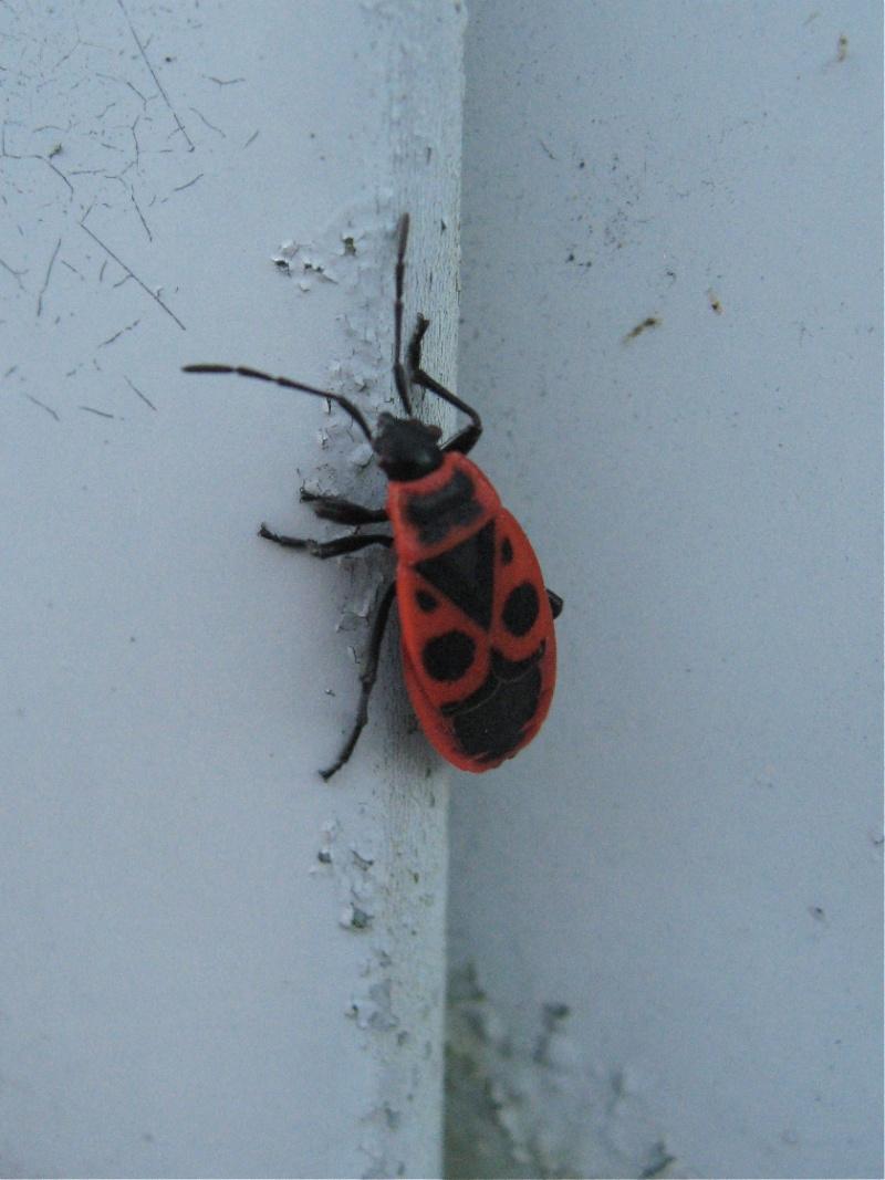 Pyrrhocoris apteris Img_2220