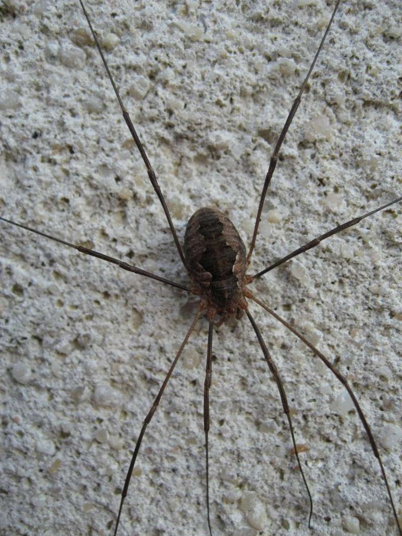 Mitopus morio ? (Phalangium opilio) Img_2314