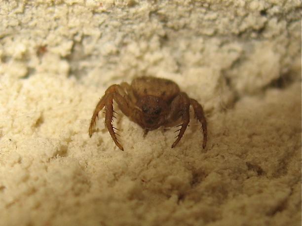 Une araignée à face de crapaud (Ozyptila sp.) Img_3110