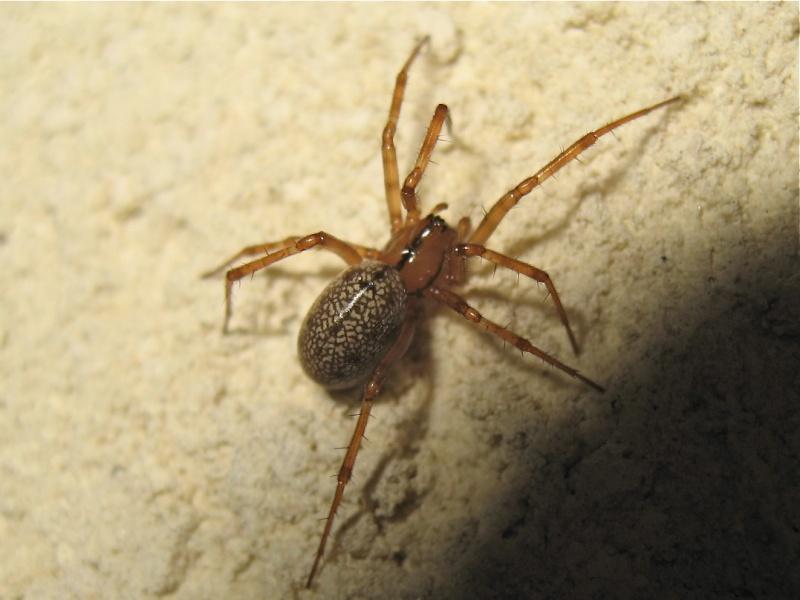 Pas née sous X (Stemonyphantes lineatus) Img_3310