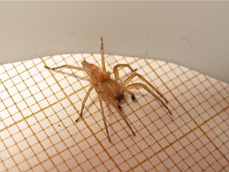 50 Cent adore cette famille d'araignée... (Clubiona cf. terrestris) Img_3411