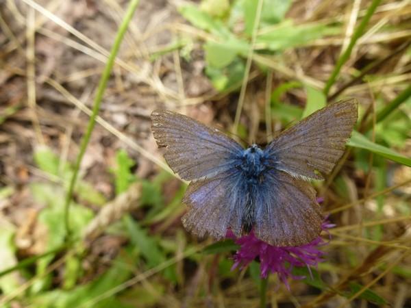Azuré ? Insect16