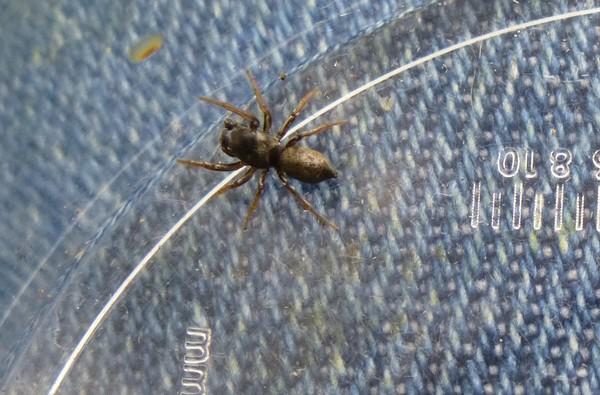 Petite araignée a identifier  Insect25