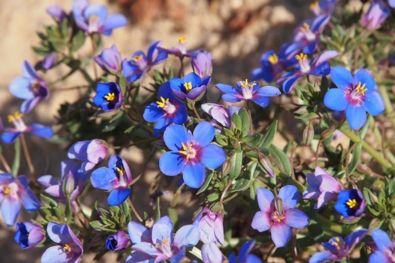 Anagallis monelli, Malva hispanica, Iberis procumbens, Sedum sediforme [identifications] Fleur010