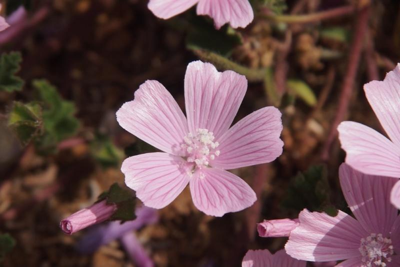 Anagallis monelli, Malva hispanica, Iberis procumbens, Sedum sediforme [identifications] Fleur011