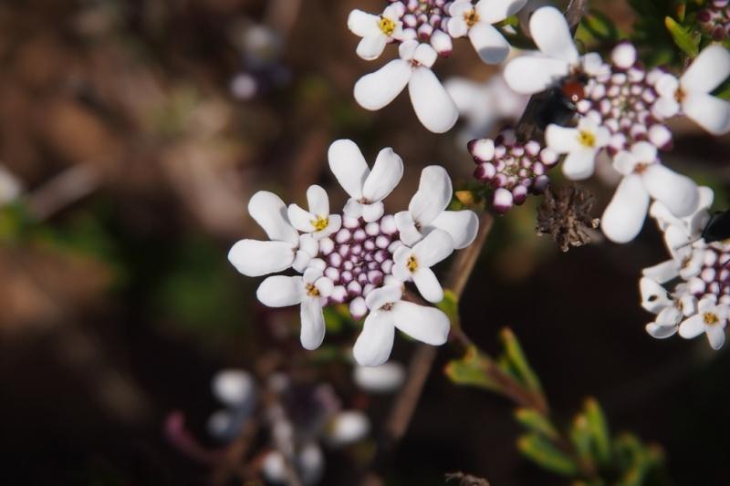 Anagallis monelli, Malva hispanica, Iberis procumbens, Sedum sediforme [identifications] Fleur012