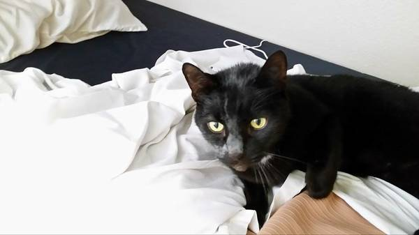 LOST BLACK CAT - RICHMOND HILL Cc310