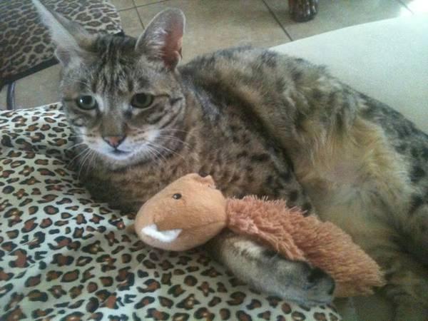 LOST CAT - TOM CAT Ftm510