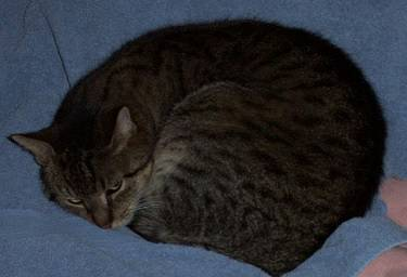 Lost grey male Tabby cat  Hou210